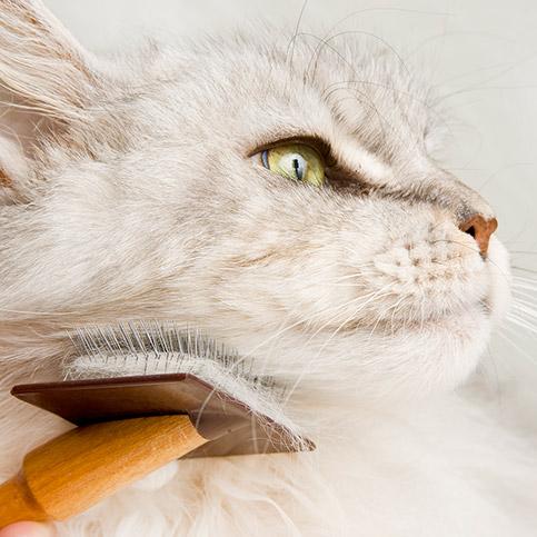 Weiße Katze wird gebürstet