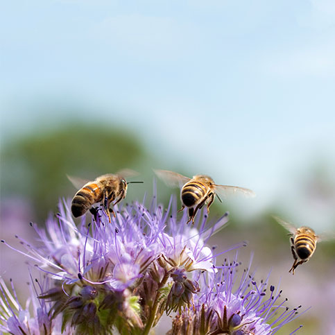 drei Bienen fliegen von einer Blüte weg